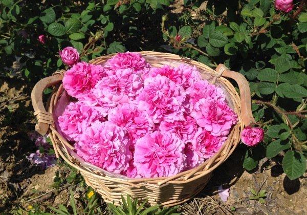 cesta rosa damascena