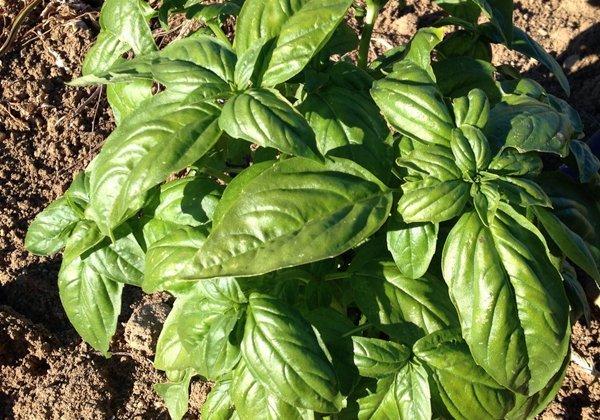 Herbio-pianta-Basilico