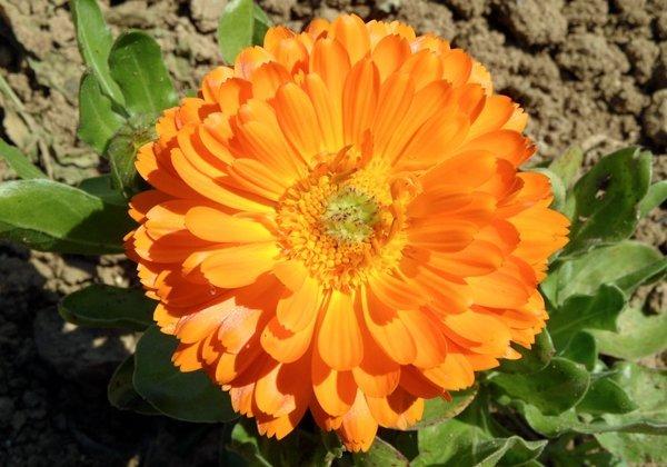 Herbio-pianta-Calendula