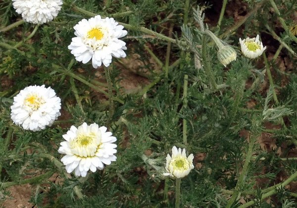 Herbio-pianta-Camomilla-Romana