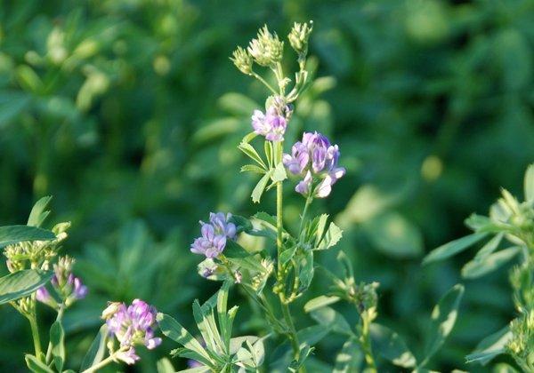 Herbio-pianta-Erba-Medica