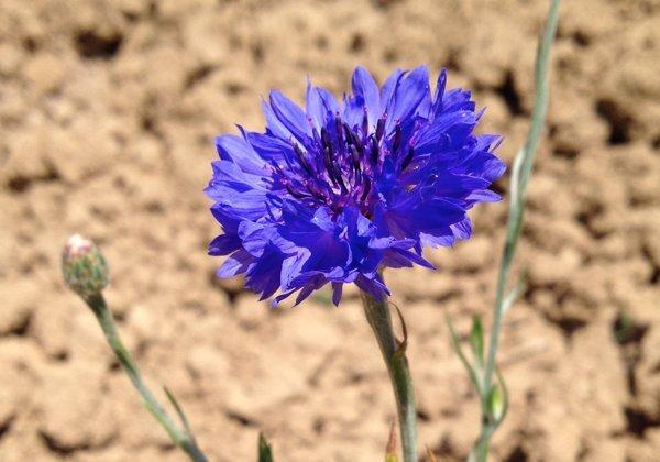 Herbio-pianta-Fiordaliso