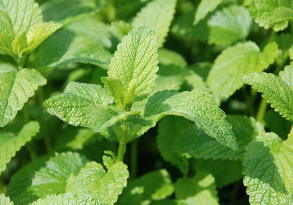 Herbio-pianta-Melissa