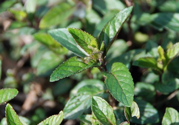 Herbio-pianta-Menta-Piperita