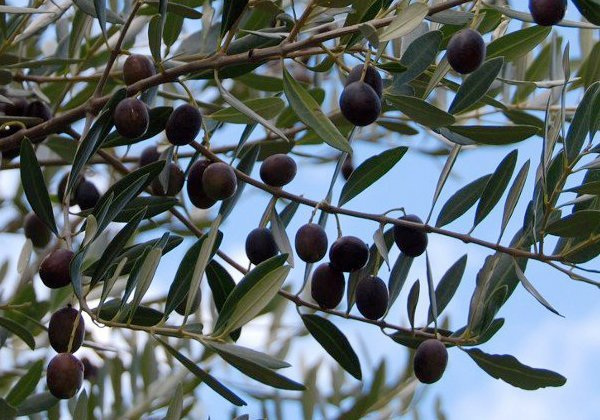 Herbio-pianta-Olivo