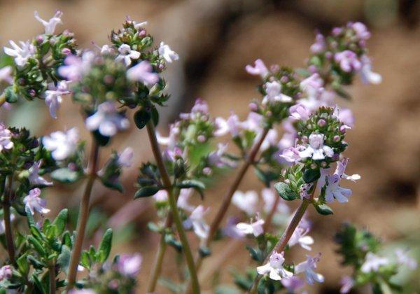 Herbio-pianta-Timo