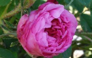 rosa-damascena-maggio