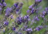 Herbio-pianta-Lavanda