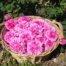 cesta-rosa-damascena